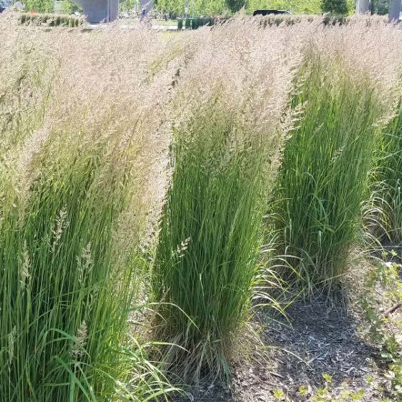 Karl Foerster Feather Reed Grass is one of those plants that provide beauty year round.