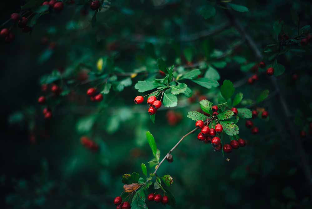 A hawthorn with its bright green leaves and red berries can provide beauty year round.
