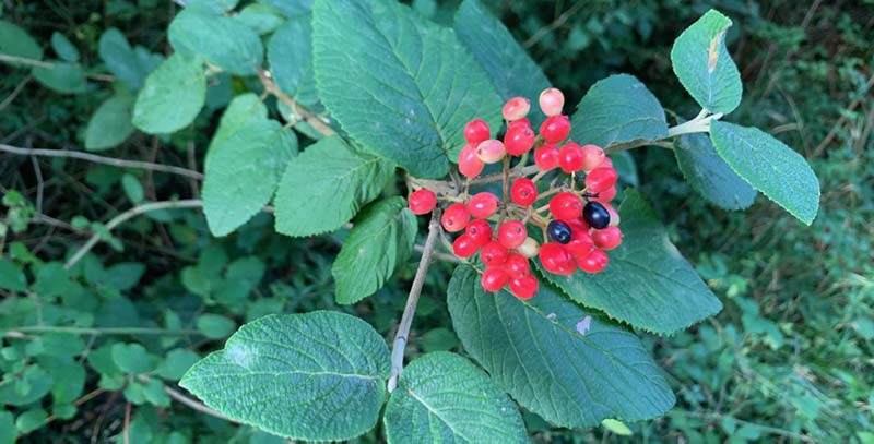 Bunches of small white flowers cover it in spring,  followed by red berries, and a lovely red to maroon fall color.