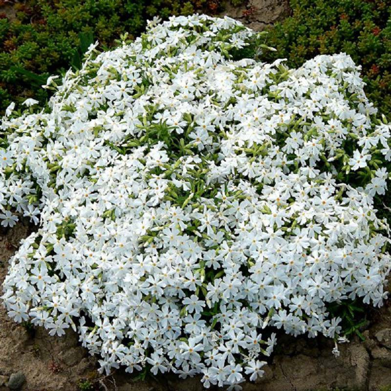 In the Spring, White Phlox is completely covered in pure white flowers and  serves as an attractive deep green spreading ground cover throughout the growing season.